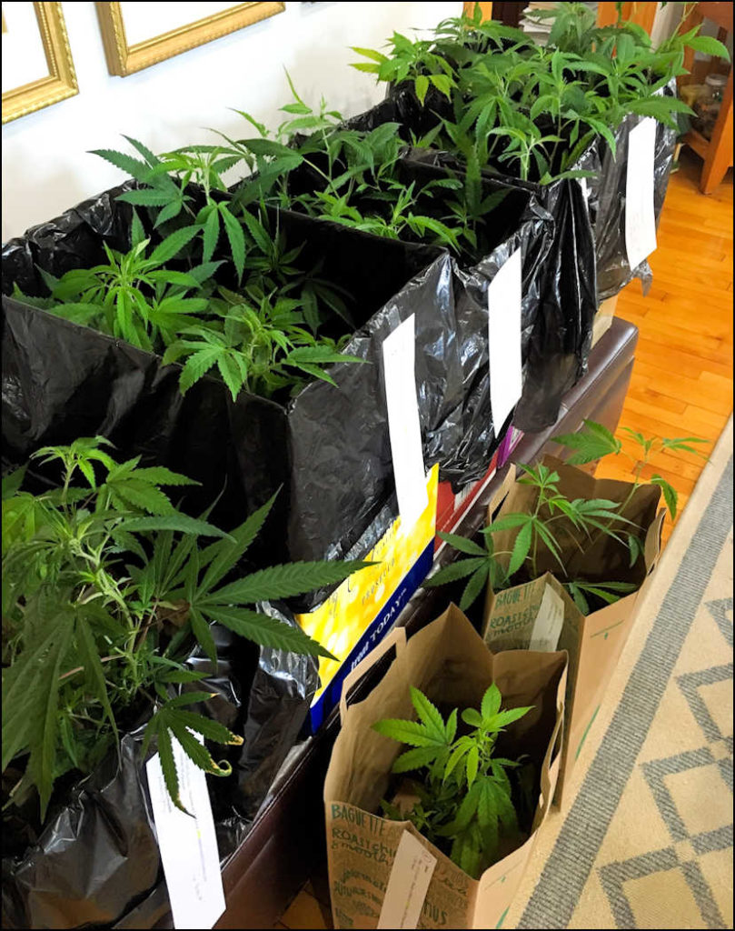 Maine Seedlings & Clones | Medical Marijuana Caregivers in Maine