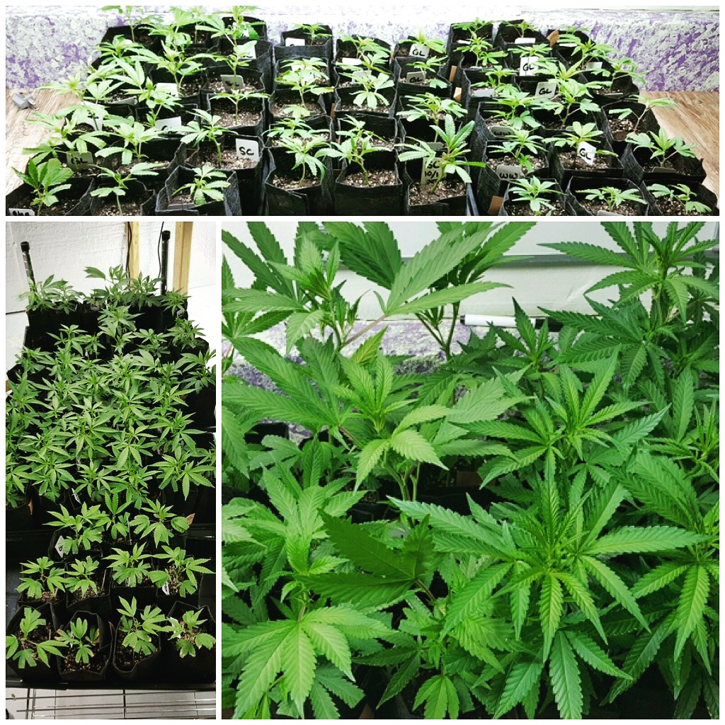 Strawberry Cough, White Widow and other marijuana clones.